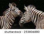 Chapman's Zebras