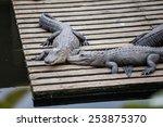 Alligators Resting On A Wooden...