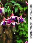 Fuchsia  Fuchsia Triphylla ...