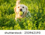 Stock photo a golden retrievers returning with the tennis ball she just found in the fields 253962193