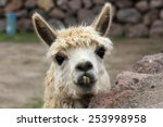 Cute Lama Needs A Dentist  Chile