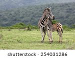 Stock photo a female zebra and her fowl in this image 254031286