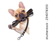 Stock photo fawn french bulldog with leather leash ready for a walk with owner isolated on white isolated 254078353