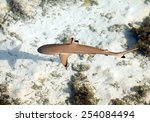 Reef Shark   The Top View...