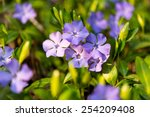 Periwinkle Flowers Growing In...