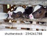 Small photo of Milk feeding of a calf.