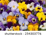 Mixed Pansies In Garden