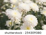 White Chrysanthemum Flower.