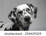 Dalmatian Black And White...