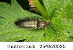 Small photo of Male Click beetle, Ctenicera pectinicornis