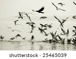 seagulls eatingon ganges river... | Shutterstock . vector #25465039