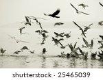 seagulls eatingon ganges river... | Shutterstock . vector #25465039