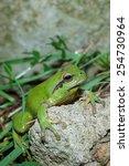 stripeless tree frog ... | Shutterstock . vector #254730964