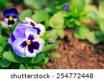 Blue Pansy Viola Flower In...