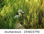 Small photo of Wild Radjah Shelduck resting in the reeds
