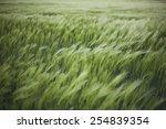 Green Wheat Field In The Wind
