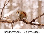 red squirrel on a branch... | Shutterstock . vector #254960353