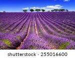 lavender field in provence ... | Shutterstock . vector #255016600