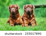 Adult Purebred Dogs Outdoors O...