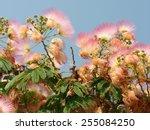 Flowering Albizia  Latin Name ...