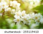 Jasmine Flowers Blossoming On...