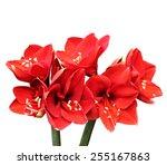 amarylis flowers | Shutterstock . vector #255167863