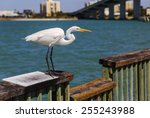 A Great Egret Stands On A...