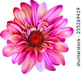 Pink Purple Chrysanthemum...