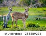 Wild Spotted Deer In Yala...