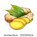 ginger. watercolor with sketch... | Shutterstock .eps vector #255399016