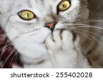 beautiful scottish cat | Shutterstock . vector #255402028