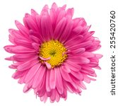 Close Up Of Pink Aster Isolated ...
