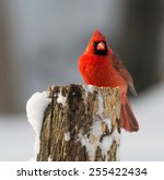 A Northern Cardinal Perched On...