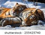 Siberian Tigers Sleeping