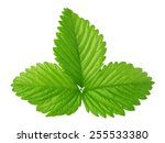 Strawberry Leaf Isolated On Th...