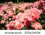 Stock photo roses in the garden 255624436