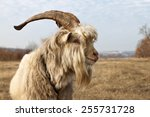 Old Unkempt Goat With Big Horn...