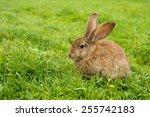 Rabbit On Grass. Composition...