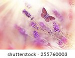 Stock photo butterfly flying over lavender 255760003