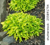 Mounding Hosta Plants In The...