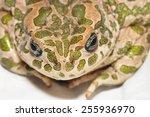 Big Ugly Frog Common European...