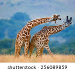 two giraffes fighting each... | Shutterstock . vector #256089859
