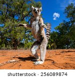 Ring Tailed Lemur In Madagasca...