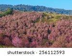 Thailand's Sakura Or Prunus...