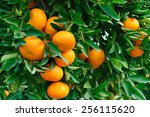 Ripe Tangerines On A Large...