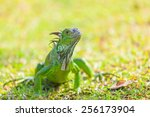 Green Iguana Is Crawling On Th...