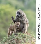 olive baboon sitting on termite ... | Shutterstock . vector #256224913