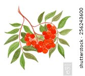 rowan berry watercolor... | Shutterstock .eps vector #256243600