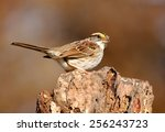 white throated sparrow ... | Shutterstock . vector #256243723