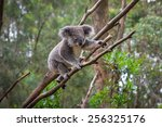 A Wild Koala Climbing A Tree....